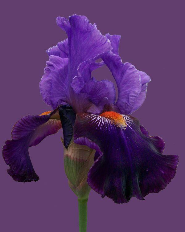 Purple Bearded Iris thumbnail
