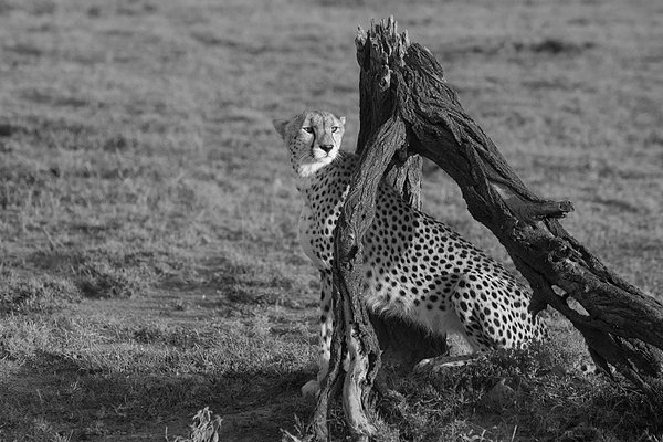 A Cheetah on the lookout for prey thumbnail