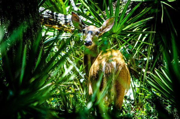 A deer paused in its tracks in Ocala National Forest, Florida thumbnail