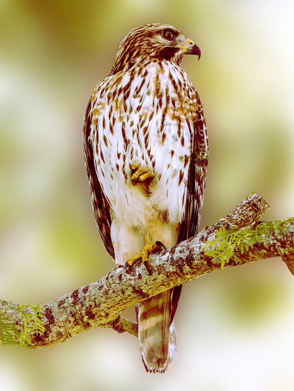 Red-tailed Hawk standing on one leg thumbnail