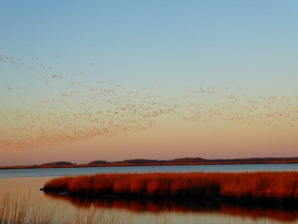 Snow geese flock lift off thumbnail