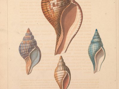 Plate from Conchology, or, The natural history of shells. London :W. Miller,[1811]. (Biodiversity Heritage Library, Smithsonian Libraries and Archives).