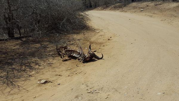 Water Buffalo Carcass thumbnail