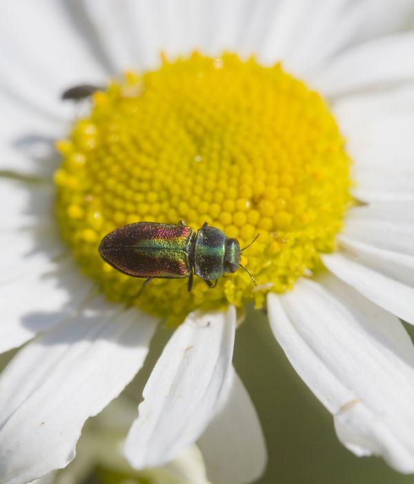 Jewel Beetle, Anthaxia fulgurans thumbnail