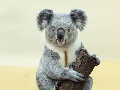 A koala in the Vienna zoo.
