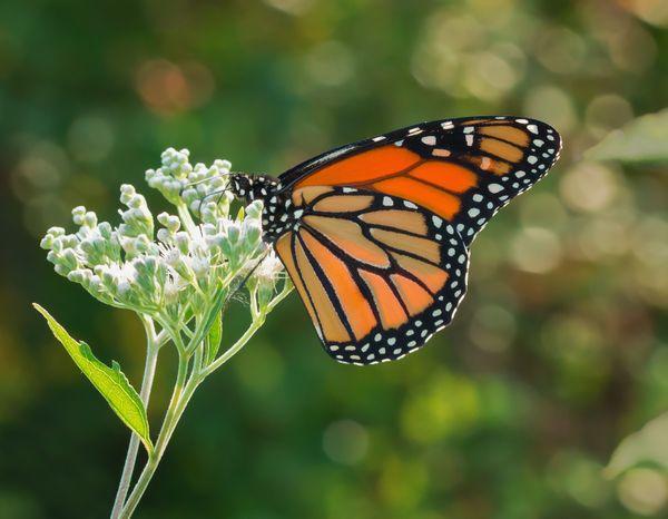 Monarch Butterfly Feeding on Flowers thumbnail