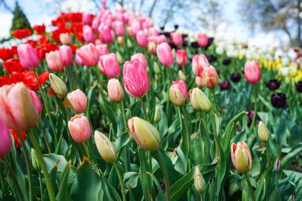 Tulips at the Tulip festival In Bowral NSW thumbnail