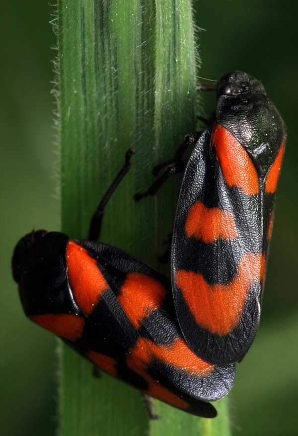 Red and Black Froghoppers thumbnail