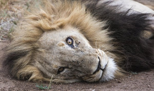 Ageing male Lion with a stare thumbnail