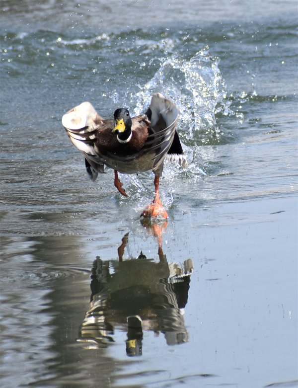 Mallard taking off from our neighborhood pond in SE Linocln, NE thumbnail