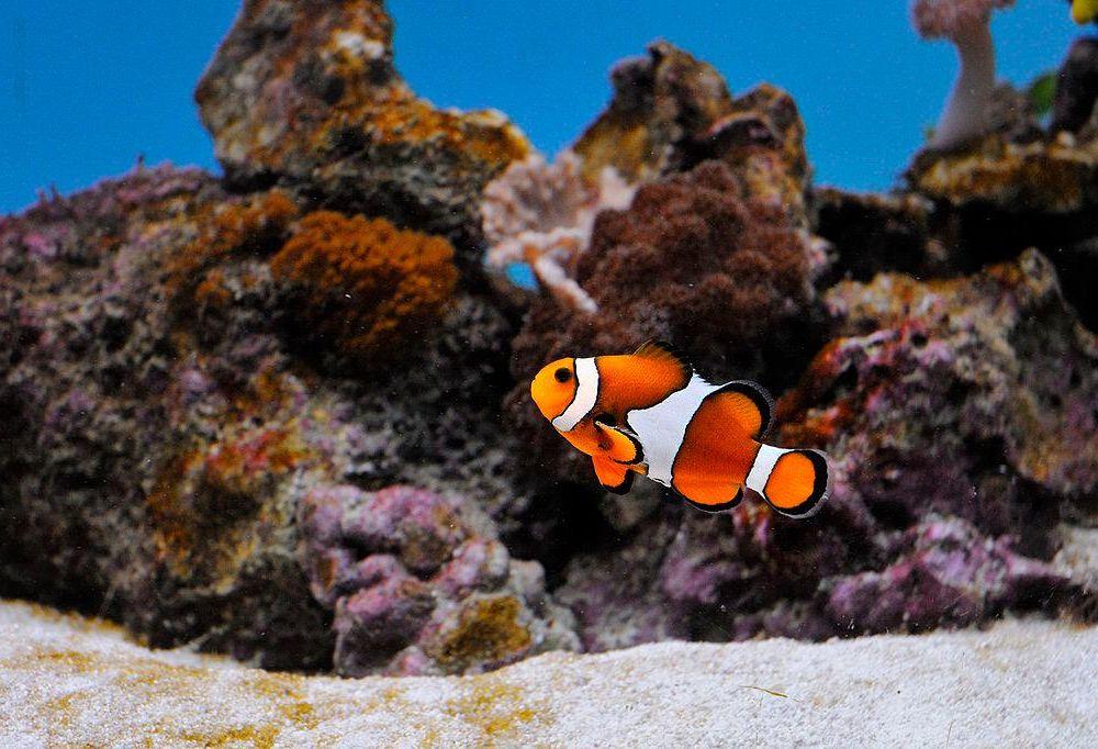 Clownfish_@_Sofia_Zoo.jpg