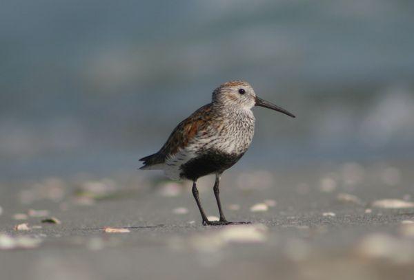 Dunlin along the Sanibel Island, Florida shoreline thumbnail