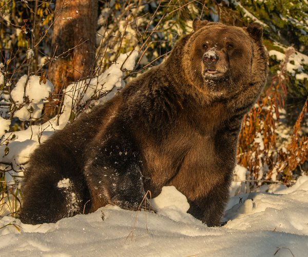 Grizzly In Snow 5 thumbnail