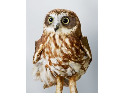Pepper, the southern boobook. The southern boobook is Australia's smallest and most common owl. It gets its name from the sound of its hoot.