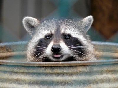 """We may see them as pests, but raccoons see humans as ripe for plundering. According to Suzanne MacDonald, they are """"the only animal that would break into captivity because they think it's a better deal."""""""