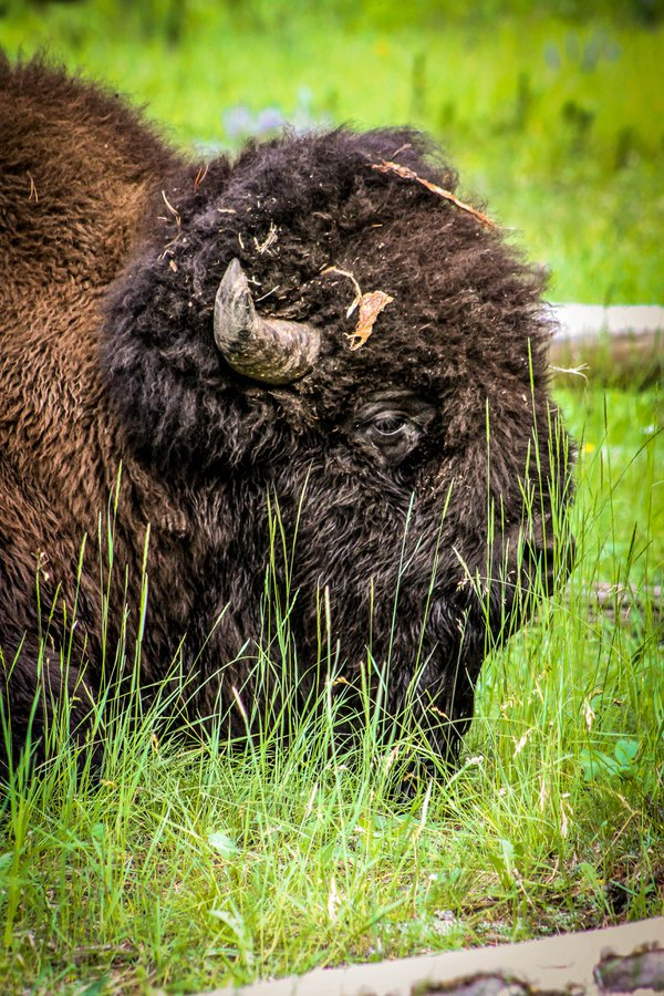 Yellowstone  Bison thumbnail