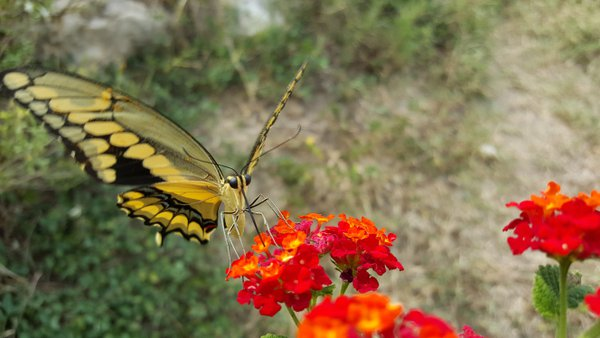 Thirsty Butterfly on a hot day in Texas thumbnail