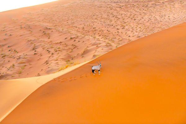 Oryx on the Sossusvlei Dune thumbnail