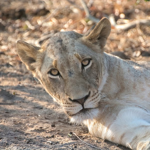 Female Lioness Gazing for the camera thumbnail