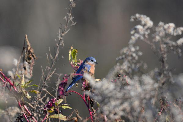 An Eastern Bluebird thumbnail
