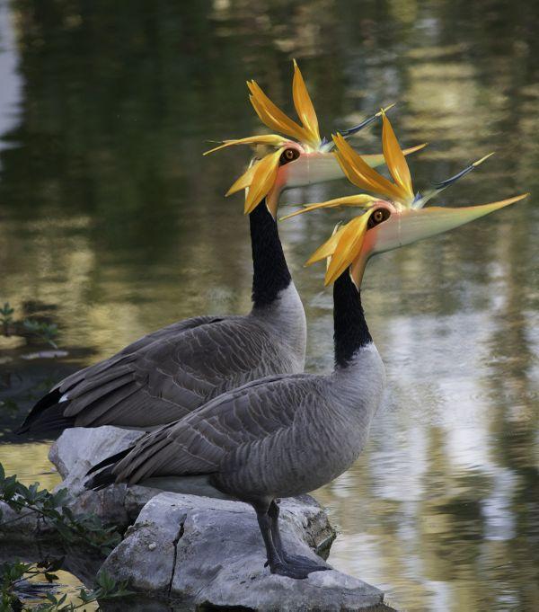 Birds of Paradise thumbnail