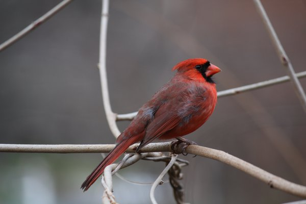 Cardinal in the Wind thumbnail