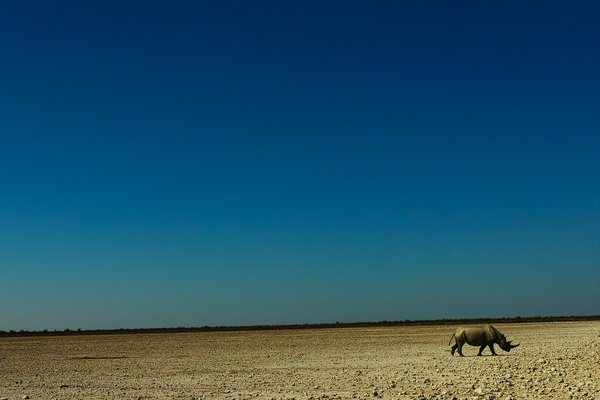 A rhino is going its way alone. thumbnail
