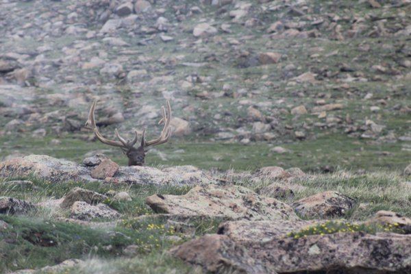 Elk in velvet relaxing near the peak of the U.S. Continental Divide. thumbnail
