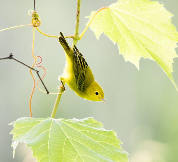 Backlit Yellow Warbler posing in Wild Grape Vines. thumbnail