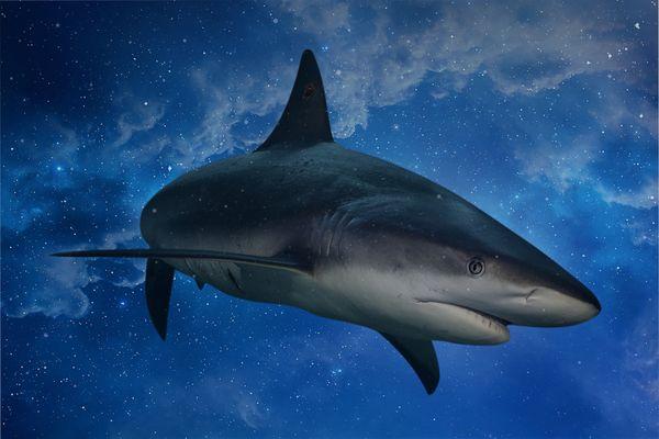 Carcharhinus celestii thumbnail