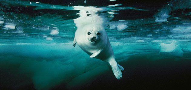 planet-ocean-skerry-harp-seal-631.jpg