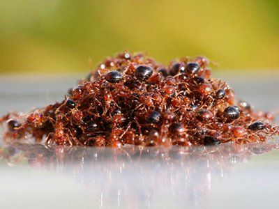 A small group of floating fire ants