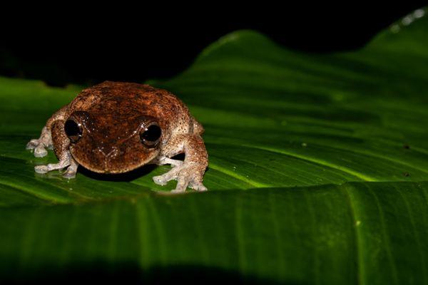 Oaxaca mountain frog thumbnail