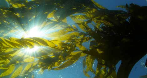 Scientists use satellite images of the kelp canopy (here, as seen from underwater) to track this important ecosystem over time.