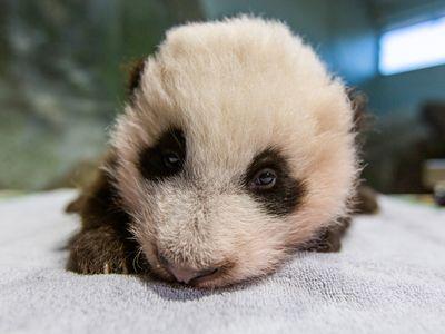 """The cub's new name is Xiao Qi Ji (SHIAU-chi-ji), or """"little miracle."""""""