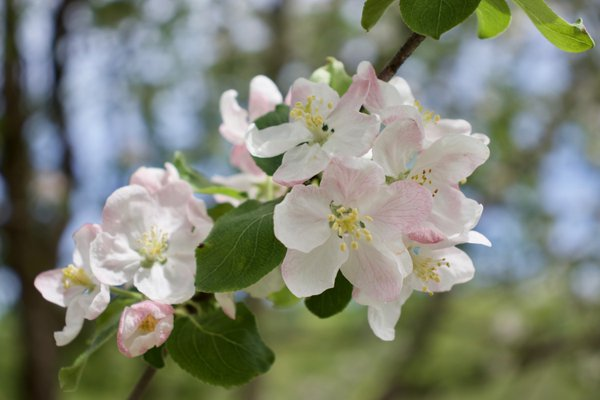 Apple blossoms  thumbnail