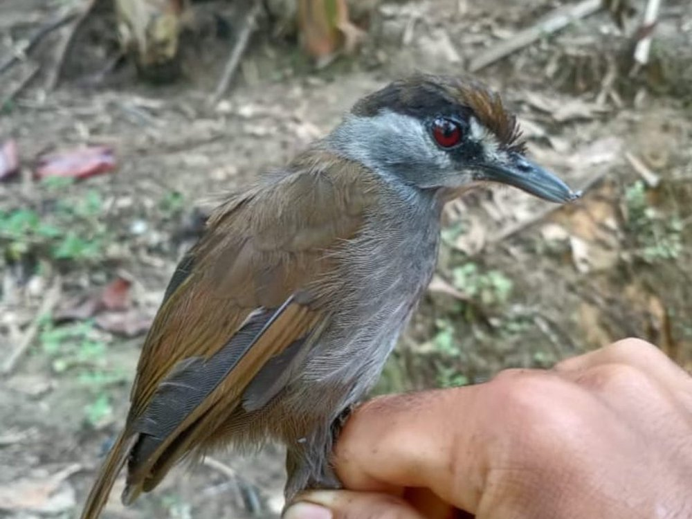 Someone holds a brown and grey bird with a black stripe on its face and red eyes