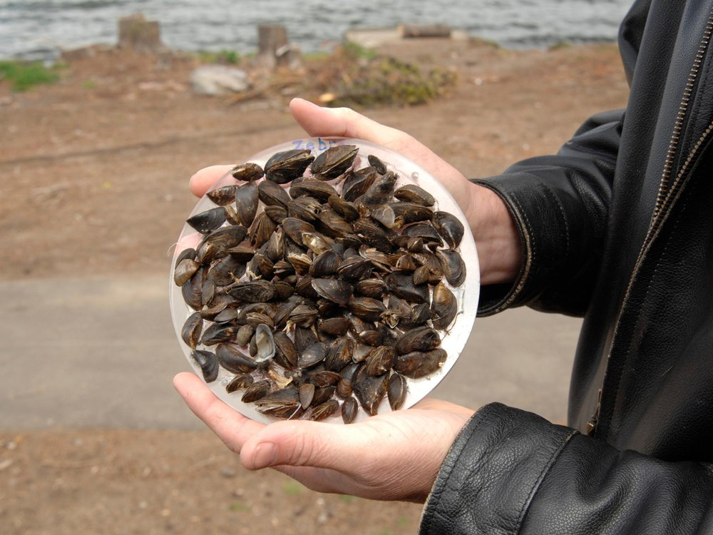 Zebra mussels are displayed on a circular plate held in the hands of a scientist at a beach at Diamond Lake in Umpqua National Forest in Oregon on June 10, 2008