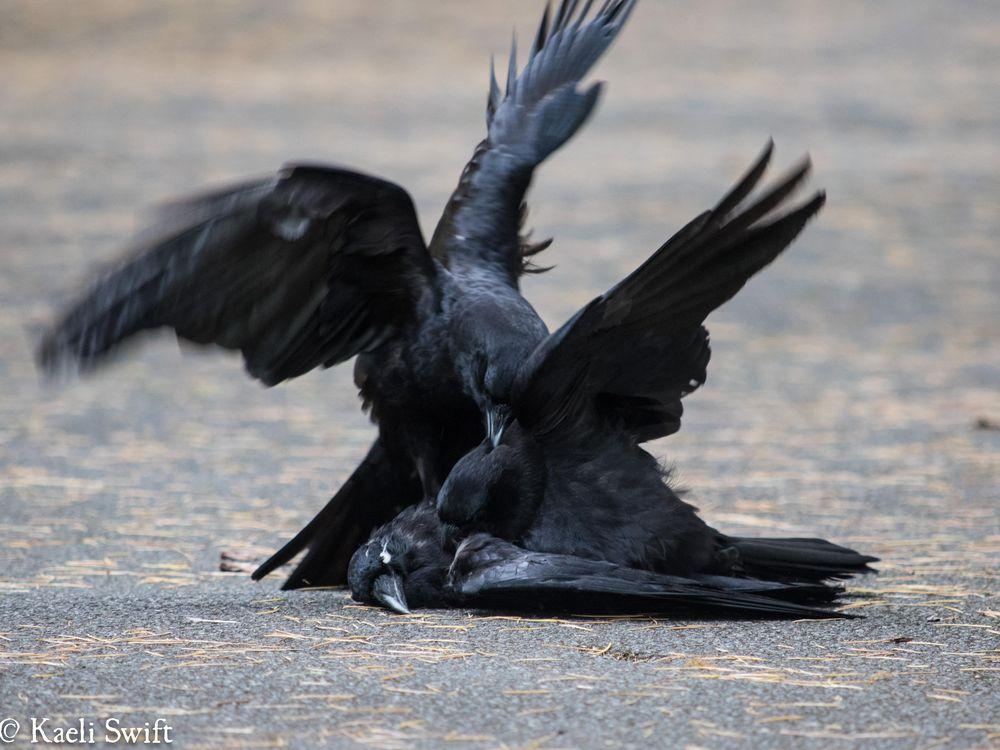 crow mutilates dead body