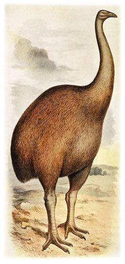 Giant moa