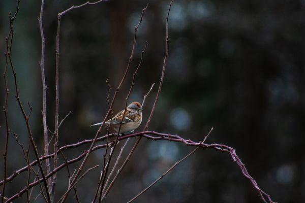 Winter Sparrow thumbnail