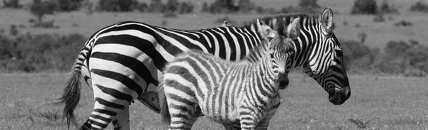 Mother and Baby Zebra capturing time in the Coats thumbnail