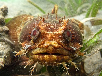 """Male Bocon toadfish of Panama attract mates by singing in a series of """"grunts"""" and """"boops."""" (Credit: Study authors)"""