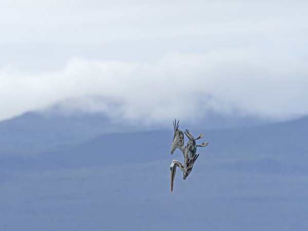 The dive of the Brown Pelican thumbnail