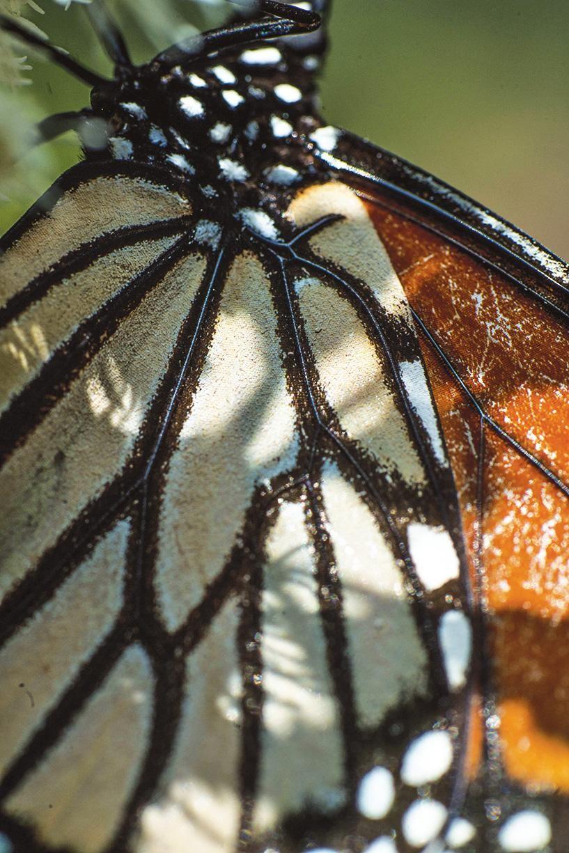 An Epic Monarch Migration Faces New Threats