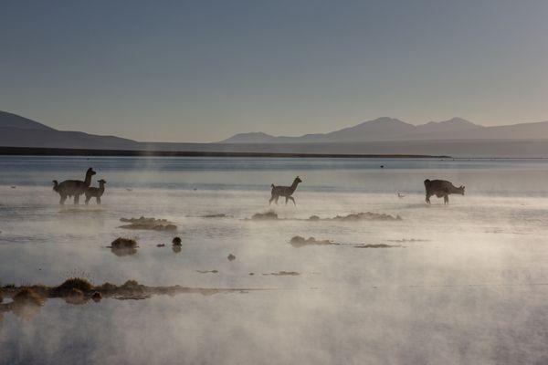 Lhamas at the termal lake thumbnail