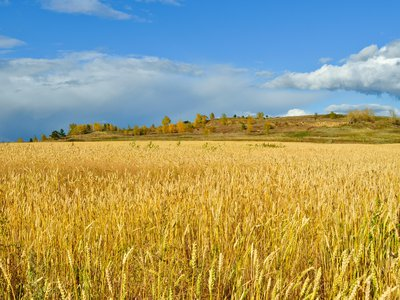 Humans overwhelmingly rely on only a few crops like wheat, making our food supplies vulnerable to climate change