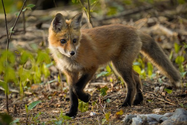 Cautious Stride - Red Fox Kit thumbnail
