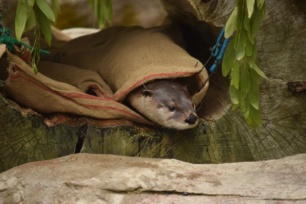 A North American river otter at the SF Zoo thumbnail