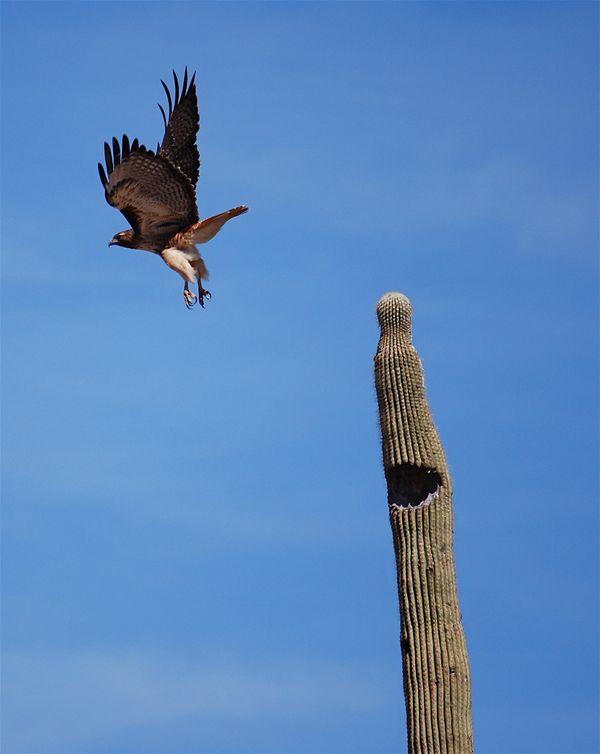golden eagle lift off thumbnail